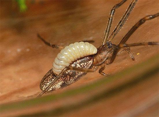 Личинки некоторых видов ос питаются прямо на теле парализованного насекомого.