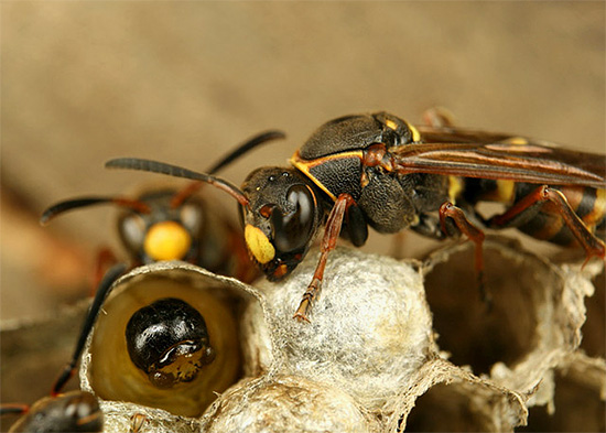 Взрослые осы приносят личинкам пищу прямо в гнездо.