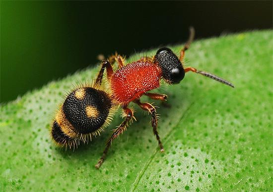 Мелкая оса-немка (на фото) может укусить значительно больнее, чем ее более крупные сородичи.