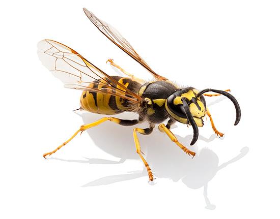 Яд обыкновенных бумажных ос во многом похож на яд пчел, шершней и шмелей, но имеет также свои особенности.