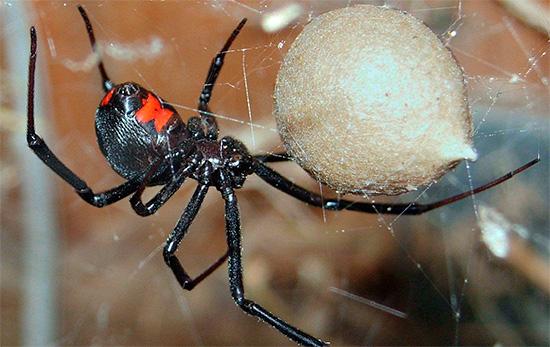 На фотографии показан ядовитый паук Черная вдова