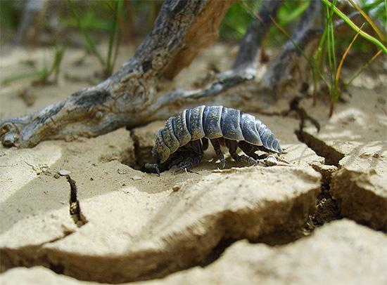 Мокрицы - довольно пугливые создания и предпочитают прятаться под корягами и старой листвой.