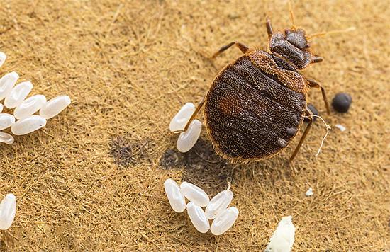Однократной обработки помещения против клопов бывает недостаточно, так как яйца паразитов в большинстве случаев выживают.