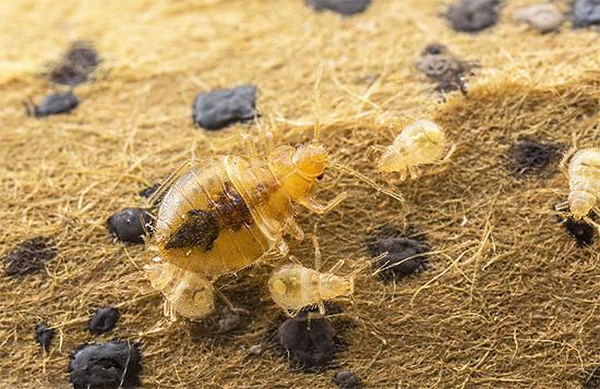 Из выживших после обработки яиц клопов через некоторое время вылупятся молодые личинки.