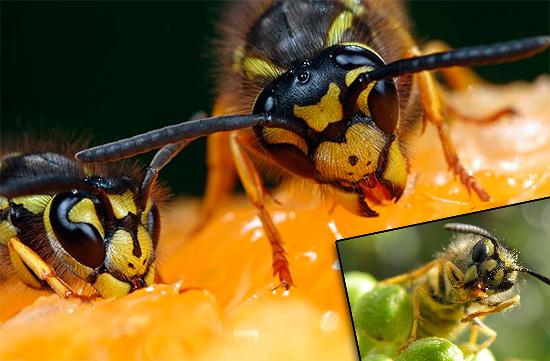 У неподготовленного человека может сложиться впечатление, что осы способны питаться чем угодно, начиная виноградом и заканчивая мясом и даже салом, однако не все так просто...