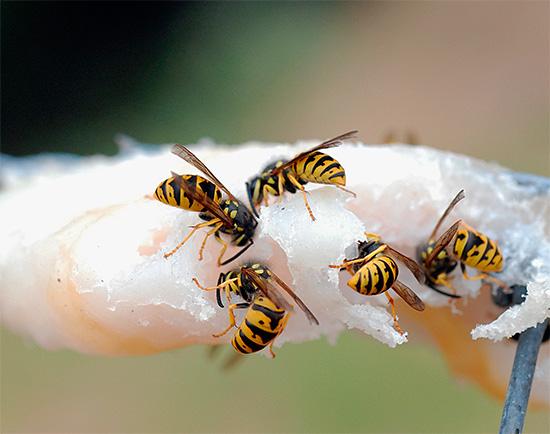 А здесь осы как будто бы едят сало...