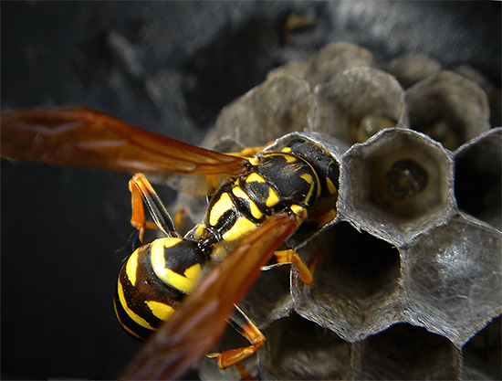 Белковую пищу, включая мясо, осы несут в гнездо и скармливают своим личинкам.