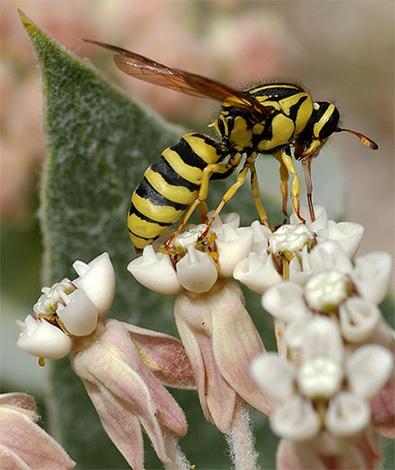 Цветочные осы питаются нектаром растений.