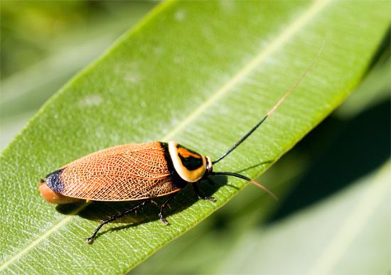 Тараканы, являясь выходцами из тропических лесов, очень зависимы от источников воды (на фото показан Австралийский кустарниковый таракан).
