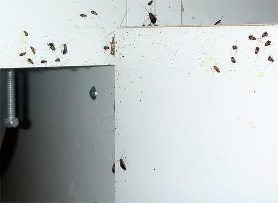 Бороться с канализационными тараканами можно с помощью инсектицидных препаратов и ловушек.