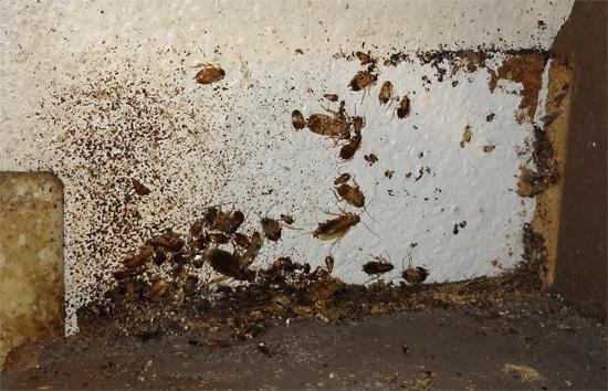 Такое убежище тараканов легко принять за их гнездо - здесь в обилии скапливаются их хитиновые панцири после линьки и экскременты.