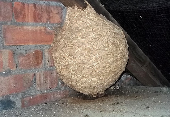 Еще один пример неудобно расположенного гнезда на чердаке дома.