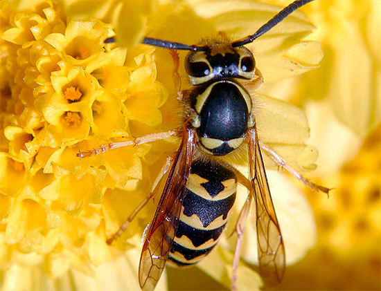 Следует помнить, что осы в целом не являются вредными насекомыми и способны даже приносить немало пользы на огородном участке.