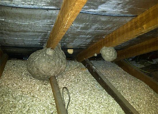 Осы и шершни любят также устраивать свои гнезда на чердаках.