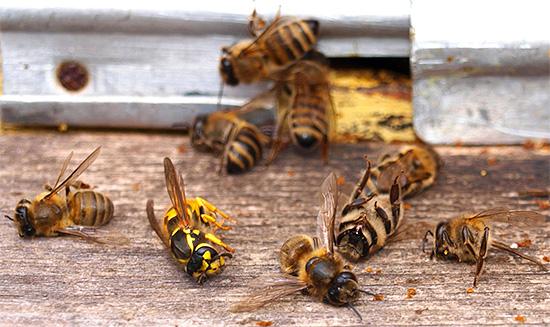 Иногда осы (и особенно шершни) нападают на пчелиные улья, нанося им существенный урон.