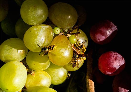 Иногда осы не устраивают на участке свое гнездо, а прилетают лишь полакомиться, например, виноградом или опавшими сливами.