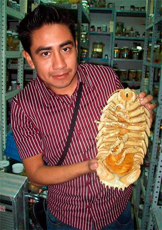 Так выглядит высушенный экземпляр гигантской изоподы Bathynomus giganteus (фото сделано в научно-исследовательском центре).