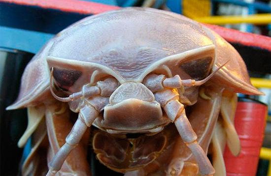 Хотя огромные мокрицы живут на большой глубине, где мало света, однако они имеют глаза и в целом хорошее зрение.