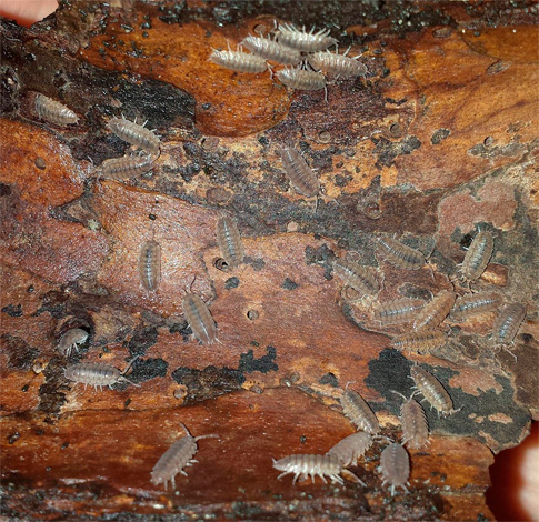 Скопление мокриц под куском древесины.