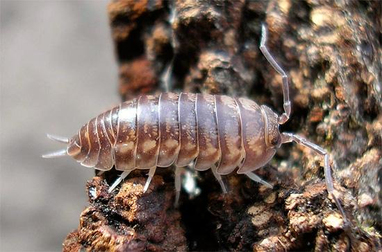 Характерной особенностью мокриц вида Cylisticus convexus является наличие выраженных церок на конце брюшка.