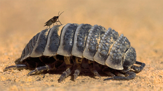 Пустынная мокрица Реомюра в своей естественной среде обитания.