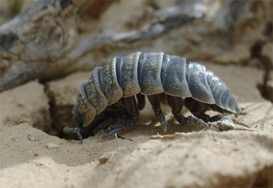На день пустынным мокрицам приходится прятаться в норки для спасения от жары.