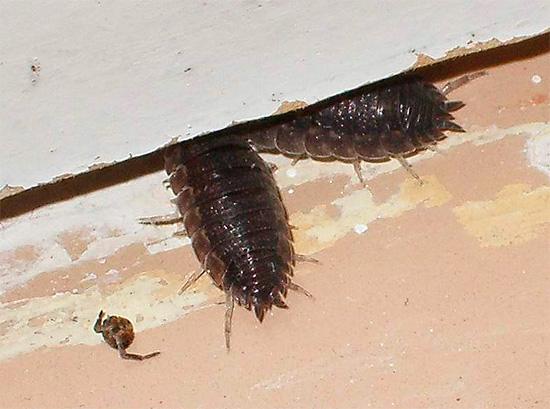 На фото показаны мокрицы шероховатые, прячущиеся под порог в обычном частном доме.