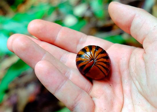 Важное отличие многих гломерисов от мокриц - их размеры; сухопутные мокрицы практически никогда не вырастают более 4 см в длину.