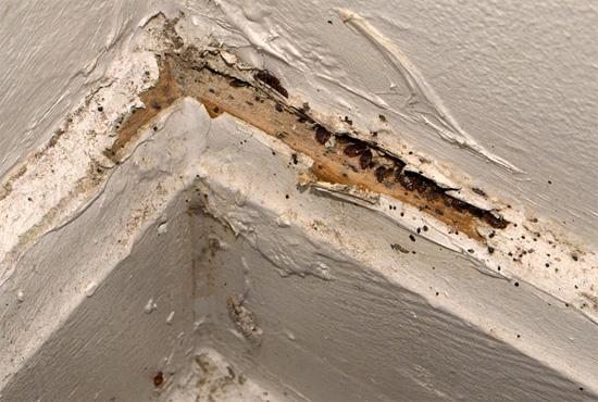 В мелких щелях в стенах клопы могут собираться десятками и сотнями - холодный туман легко проникнет даже в самые укромные гнезда паразитов.