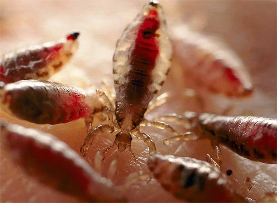 Если не избавляться от вшей или делать это неэффективно, то паразиты могут очень быстро размножиться...