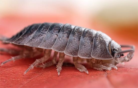 Мокрица насекомое в квартире как появляются