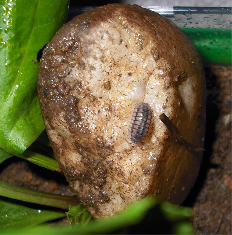 Мокриц можно принести в квартиру на гнилой картошке, но шансов на длительное выживание в сухом помещении у них практически не будет.