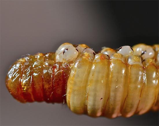 На фотографии хорошо видно, что в оотеке таракана находится множество яиц, в каждом из которых развивается только одна личинка.