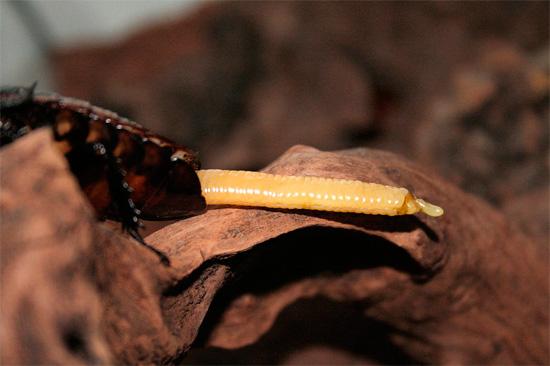 У некоторых тропических видов тараканов, например, у мадагаскарских, оотека характерно вытянута в длину.