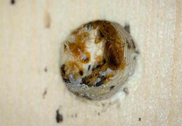 Инсектицидный дым проникнет в мельчайшие щели и отверстия, где также могут прятаться клопы.