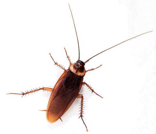 В Европу американский таракан проник на торговых судах из Америки, благодаря чему и получил соответствующее название.
