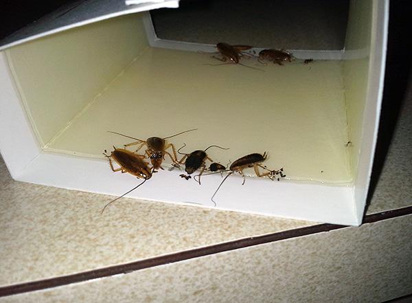 Липкие ловушки весьма эффективны при борьбе с тараканами и муравьями (когда этих насекомых в целом не очень много).