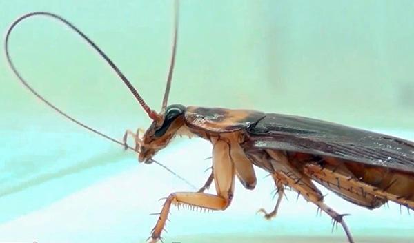 Инсектицид может попадать в организм таракана, когда насекомое производит очистку, например, своих усиков.