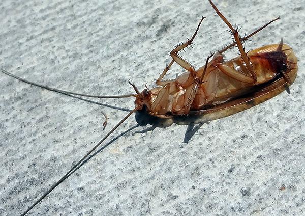 После санобработки квартиры от тараканов необходимо тщательно проветрить помещение и провести в нем влажную уборку.