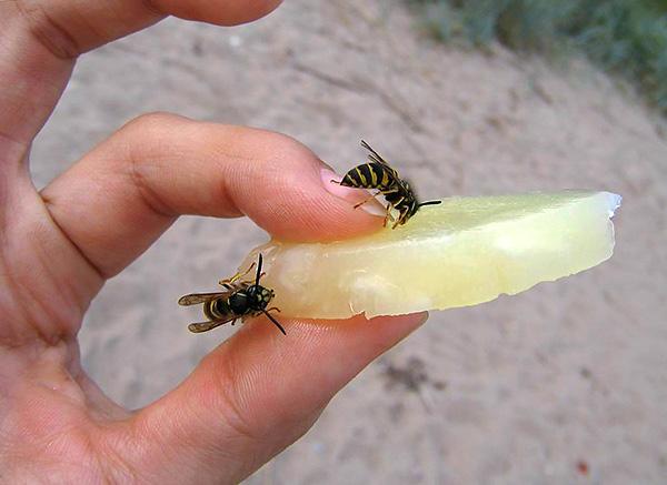 Как правило, осы, пчелы и шершни жалят лишь в том случае, если как-либо провоцировать их на это.