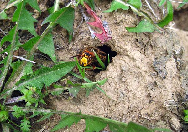 Выезжая на природу, следует учитывать, что осы и шершни могут устраивать свое гнездо прямо в земле.