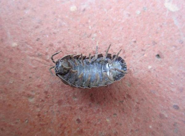 При выборе инсектицидных средств для уничтожения мокриц необходимо учитывать важные нюансы...