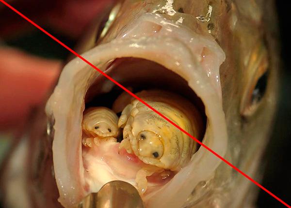 Ракообразные, паразитирующие на языках рыб, мокрицами, строго говоря, не являются, хотя весьма на них похожи.