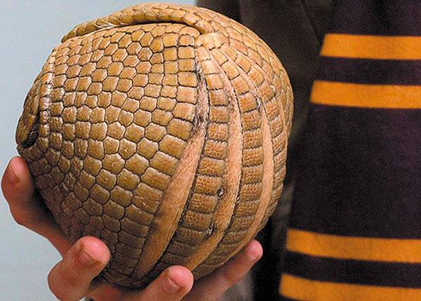 Броненосец, так же, как и мокрицы, при опасности сворачивается в шар.