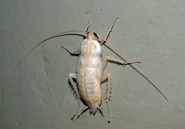 Давайте разберемся, почему иногда в квартире можно встретить белых тараканов - своего рода альбиносов на фоне рыжих собратьев...