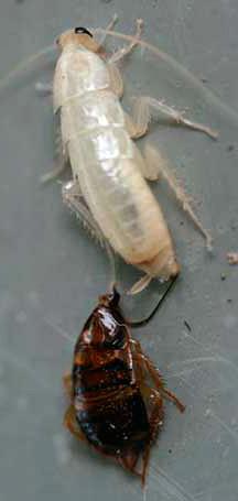 Белый только что полинявший таракан