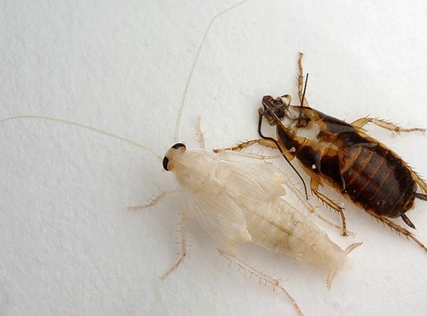 Сразу после линьки тараканы наиболее уязвимы, поэтому прячутся в укромных местах.