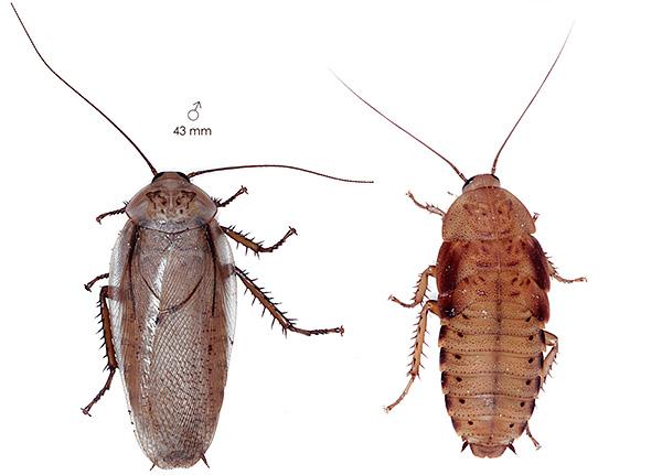 Мадейрский таракан