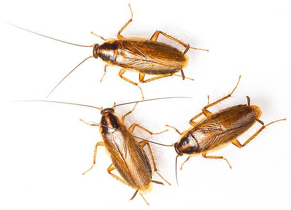 Характерная окраска рыжих тараканов обусловлена наличием в их кутикуле особых пигментов из группы меланинов.