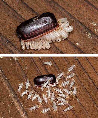 Личинки черного таракана, только что вылупившиеся из яиц, имеют белый цвет.